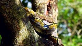 Het mooie dichte omhoog onder ogen zien van Phyton-slangrust op de boom stock footage