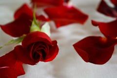 Het mooie donkerrode fluweel nam toe en verspreidde bloemblaadjes Stock Afbeeldingen