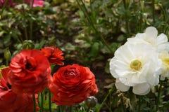 Het mooie en trillende rood en witte bloed nam toe Royalty-vrije Stock Fotografie