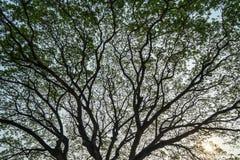 Het mooie enorme natuurlijke abstracte silhouetpatroon van reuzeraintree vertakt zich met verse overvloed groene bladeren en duid royalty-vrije stock fotografie