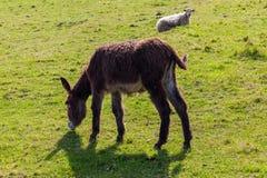 Het mooie ezel en schapen weiden stock fotografie