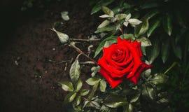 Het mooie fluweel nam toe Fatale Schoonheid Royalty-vrije Stock Afbeelding