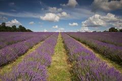 Het mooie Gebied van de Lavendel stock afbeeldingen
