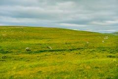 Het mooie gebied van het landschaps groene gras van Noorwegen met Noorse rendierenkudde royalty-vrije stock afbeelding
