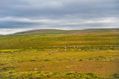 Het mooie gebied van het landschaps groene gras van Noorwegen met Noorse rendierenkudde stock fotografie