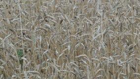 Het mooie gebied van rijpe tarwe, aartjes van tarwe slingert in de wind stock videobeelden