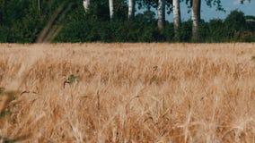 Het mooie gebied van rijpe tarwe, aartjes van tarwe slingert in de wind stock footage