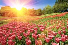 Het mooie gebied van tulpenbloemen. stock foto's