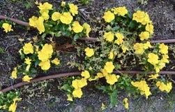 Het mooie gele bloemen ontspruiten royalty-vrije stock fotografie
