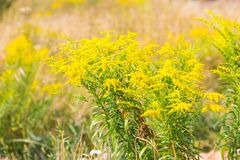 Het mooie gele goldenrod bloemen bloeien Stock Foto