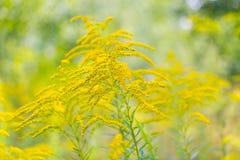 Het mooie gele goldenrod bloemen bloeien Stock Afbeeldingen