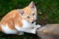Het mooie gemberkatje spelen in een tuin Stock Fotografie