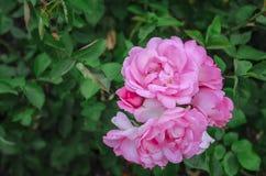 Het mooie gevoelige close-up van de de lentebloem Bloemen roze rozen royalty-vrije stock fotografie