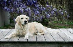 Het mooie golden retriever bepaalt op een houten dek Royalty-vrije Stock Fotografie