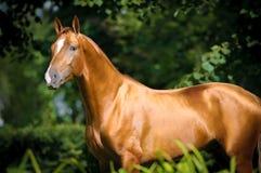 Het mooie gouden rood trekt paardportret aan stock afbeelding