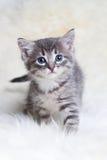 Het mooie grijze katje gaat door Royalty-vrije Stock Afbeelding