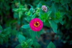 Het mooie heldere roze de bloem van Zinnia groeien in de tuin royalty-vrije stock afbeeldingen