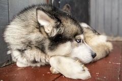 Het mooie hond Siberische Schor ontspannen liggen op de portiek met van hem royalty-vrije stock afbeeldingen