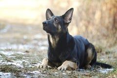 Het mooie jonge Duitse puppy van de herdershond op de lenteachtergrond Royalty-vrije Stock Foto