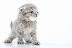 Het mooie jonge Schotse katje van het flodoor Stock Afbeelding