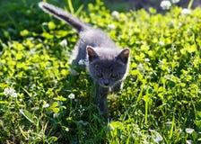 Het mooie katje spelen op groene grasachtergrond Royalty-vrije Stock Afbeelding