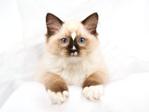 Het mooie katje van Ragdoll van het verbindingspunt op witte stof Royalty-vrije Stock Foto's