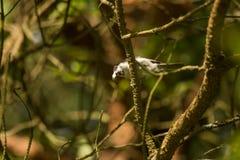 Het mooie kleine bosmees voeden op motten in een boom royalty-vrije stock foto's