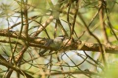 Het mooie kleine bosmees voeden op motten in een boom royalty-vrije stock fotografie