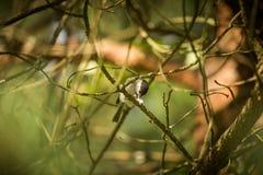 Het mooie kleine bosmees voeden op motten in een boom royalty-vrije stock afbeelding