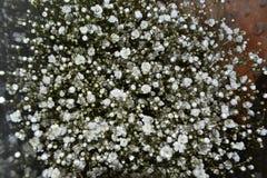 Het mooie kleine witte bloemen bloeien nuttig voor bloemstukken Stock Fotografie