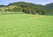 Het mooie landbouwbedrijf van knoflookspruiten. royalty-vrije stock fotografie