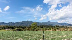 Het mooie landbouwbedrijf van knoflookspruiten met schoonheidshemel Stock Foto's