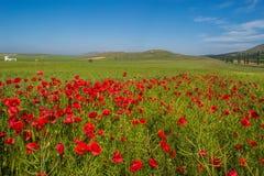 Het mooie landschap met gebied van rode papaver bloeit en blauwe hemel in Dobrogea, Roemenië Royalty-vrije Stock Afbeeldingen