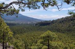 Het mooie landschap van de pijnboomboom op La Palma, Canarische Eilanden, Spanje Royalty-vrije Stock Foto