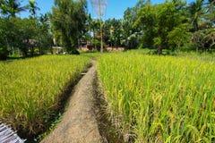 Het mooie landschap van padievelden Padievelden met huis en aard Stock Afbeelding