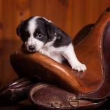 Het mooie maand-oude puppy rustte zijn hoofd op het oude huidzadel voor een paard Royalty-vrije Stock Fotografie