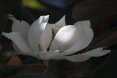 Het mooie Magnolia Bloeien Stock Afbeeldingen