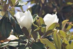 Het mooie Magnolia Bloeien Royalty-vrije Stock Foto's