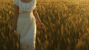 Het mooie meisje loopt over een gebied van rijpe tarwe en raakt oren van korrel met haar handen Langzame Motie Het lopen van de v stock video