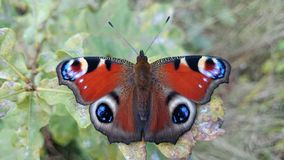 1 het mooie Oog van de vlinderpauw Stock Afbeelding