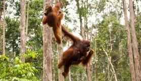Het mooie orangoetanfamilie hangen op de boom Royalty-vrije Stock Foto's