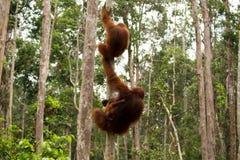 Het mooie orangoetanfamilie hangen op de boom Stock Fotografie