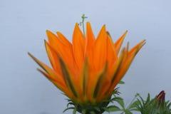 Het mooie oranje bloem bloeien Stock Fotografie