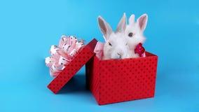 Het mooie paar van konijnen met roze buigt, ontspannend in de huidige doos stock footage