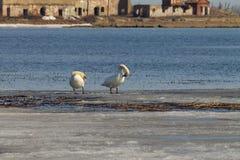 Het mooie paar van witte zwanen zwemt in het meer, dat gedeeltelijk met ijs op een zonnige dag in de lente wordt behandeld stock afbeeldingen