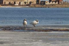 Het mooie paar van witte zwanen zwemt in het meer, dat gedeeltelijk met ijs op een zonnige dag in de lente wordt behandeld stock foto's