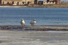 Het mooie paar van witte zwanen zwemt in het meer, dat gedeeltelijk met ijs op een zonnige dag in de lente wordt behandeld royalty-vrije stock fotografie