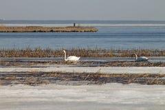 Het mooie paar van witte zwanen zwemt in het meer, dat gedeeltelijk met ijs op een zonnige dag in de lente wordt behandeld stock afbeelding