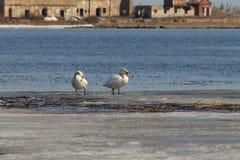 Het mooie paar van witte zwanen zwemt in het meer, dat gedeeltelijk met ijs op een zonnige dag in de lente wordt behandeld stock fotografie