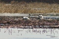 Het mooie paar van witte zwanen zwemt in het meer, dat gedeeltelijk met ijs op een zonnige dag in de lente wordt behandeld royalty-vrije stock afbeelding